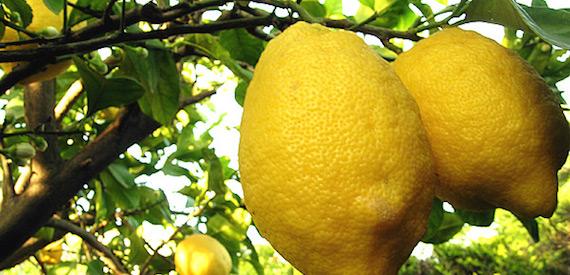 i limoni di Procida